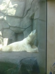 Polar Bear at Como Zoo