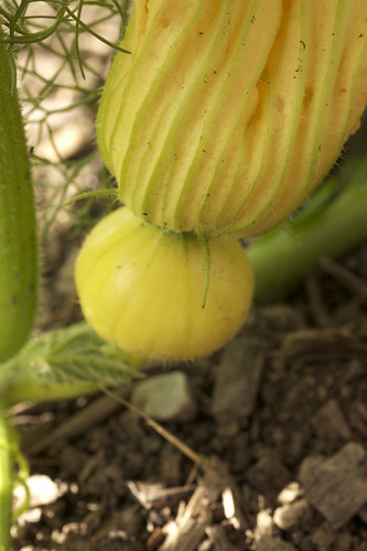 hidden in the squash patch