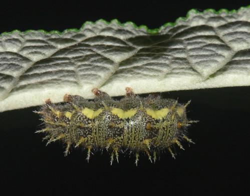 Red Admiral (Vanessa atalanta) caterpillar