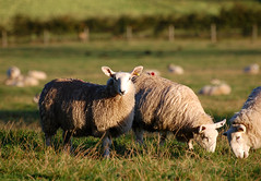 Sheep grazing in a field