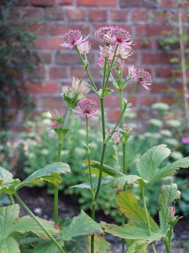 201008170097_purple-astrantia