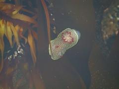 rufus tipped nudibranch