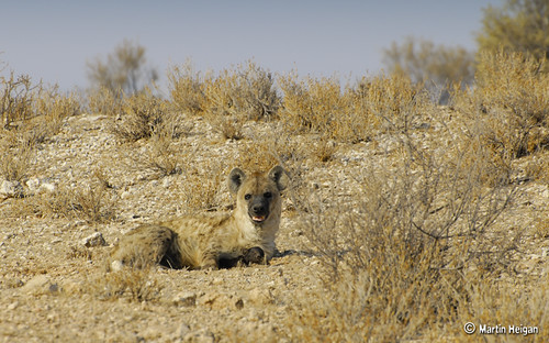 Spotted Hyaena Mother and Baby by Martin_Heigan