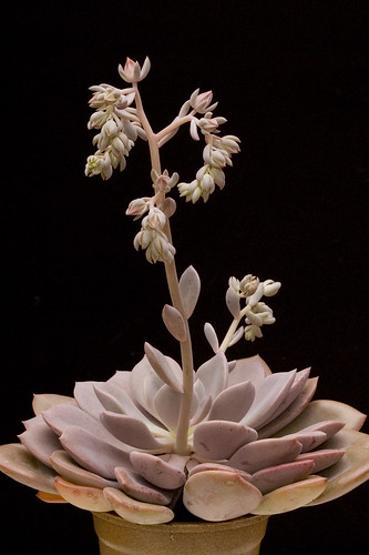 Echeveria Full Plant Shot