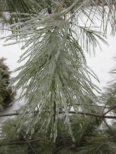 Ice-covered evergreen