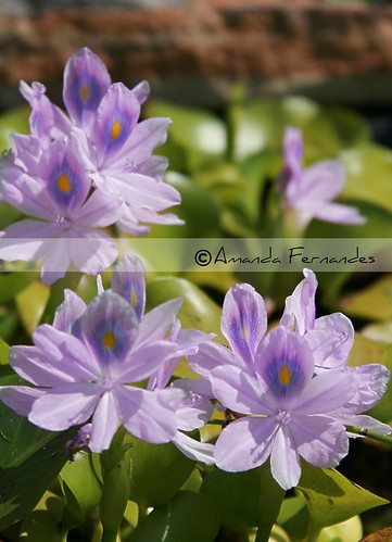 365-246 Water Hyacinth flowers