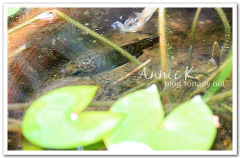 水生植物鬥魚