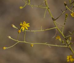 san joaquin snakeweed