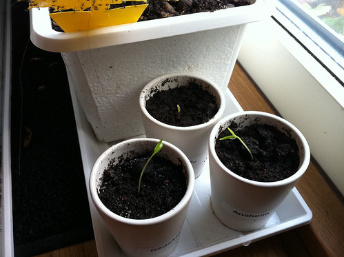 LIFE!! My chilli seeds... THEY GROW!!