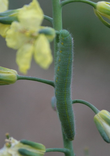Cabbage White caterpillar on broccoli