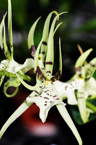 freak show orchid