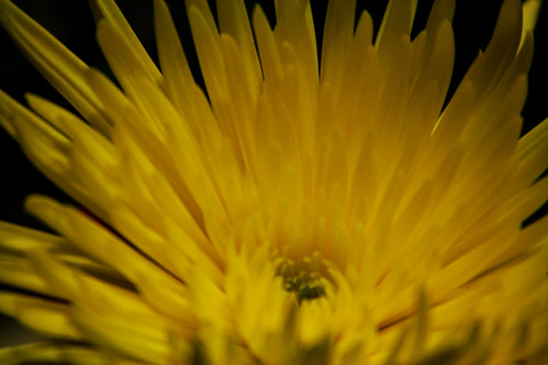 365-209 Chrysanthemum