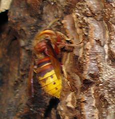 Hornet - Hymenoptera - Vespa crabro