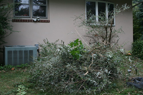 Pile from Butterfly Bush trim back