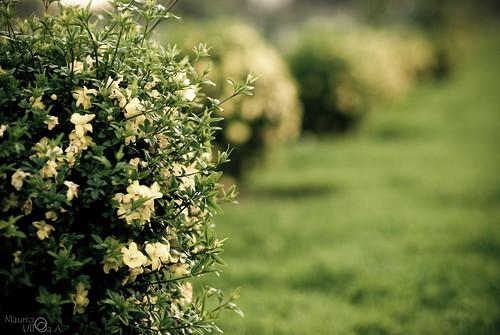 Yellow Flowering Shrub.