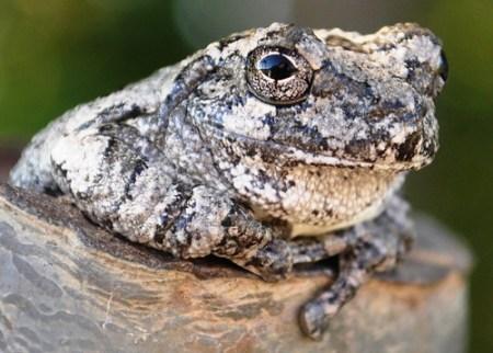 Eye of the Gray Treefrog, Huntsville, Alabama