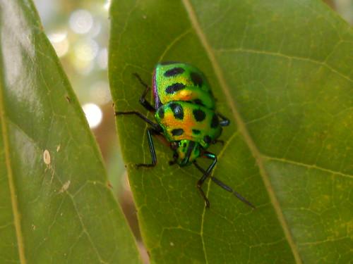 Iridiscent Beetle