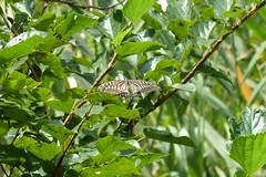 新治市民の森のアゲハチョウ