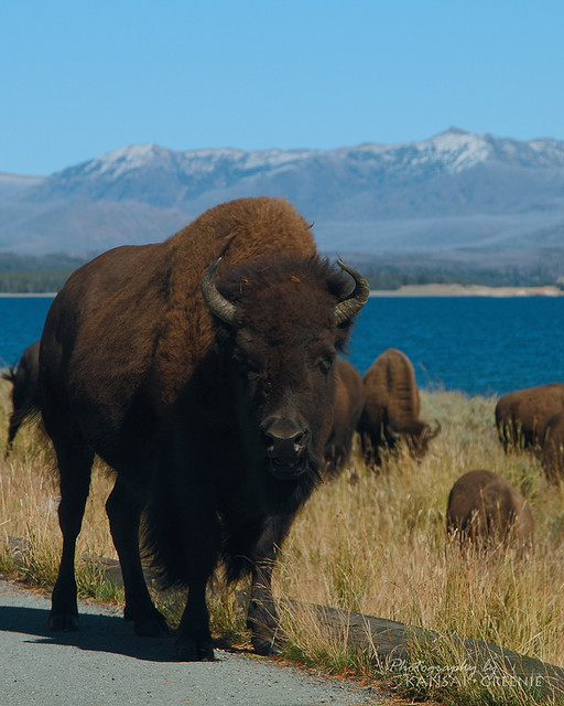 Yellowstone National Park: Bison next to the road