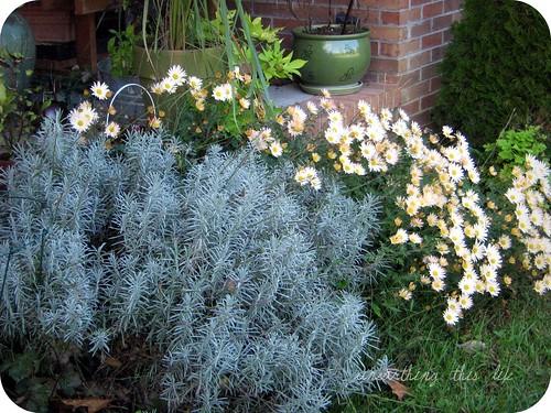 lavender and chrysanthemum