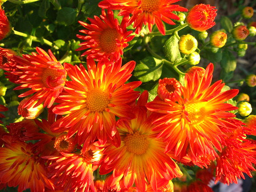 Bright yellow and orange mums