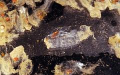 multiple salps