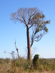 Baobab (Adansonia za)