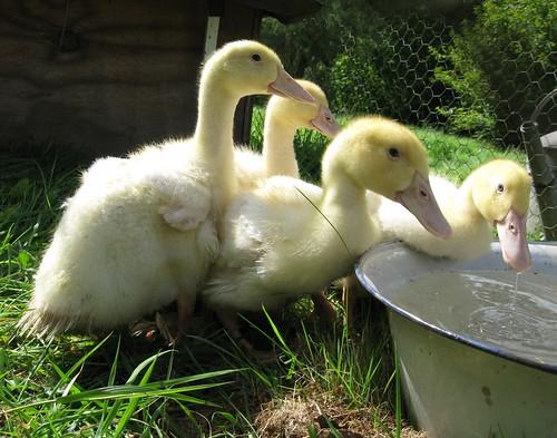 ducks outside
