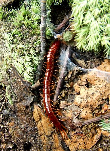 centipede under rock #4