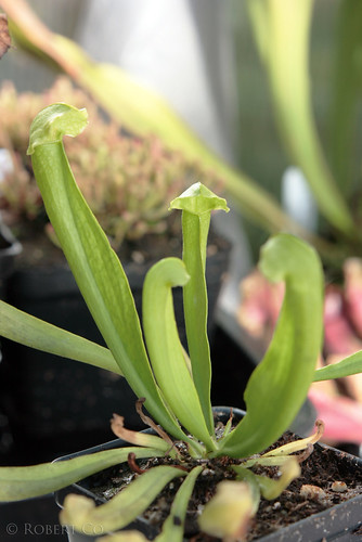 "Sarracenia courtii x ""Green Monster"", Anthocyain Free"