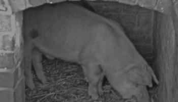 Pig in sty