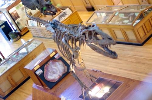 Gorgosaurus libratus from above...
