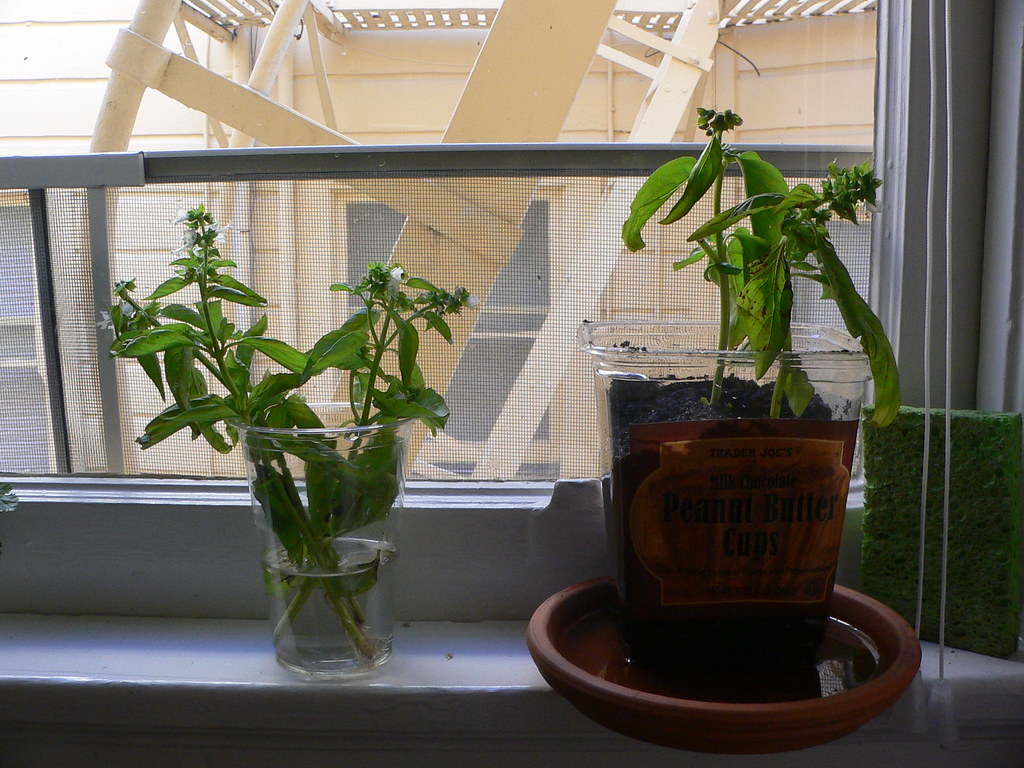 Basil on our window sill