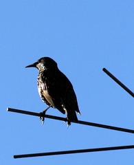 An ordinary starling