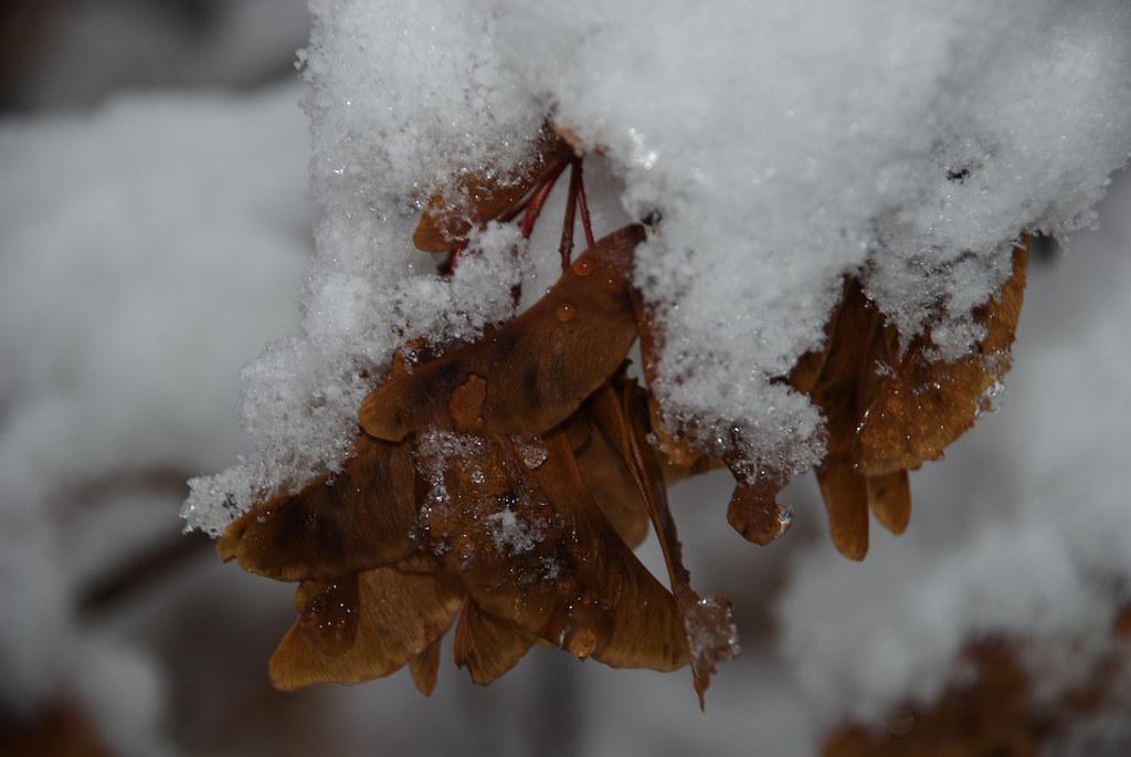 Snow on maple seeds