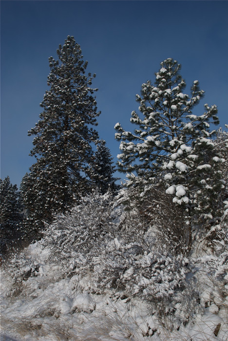 Snow on the pines