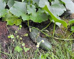 cucumbers 20100630_10