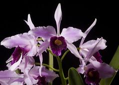 L. purpurata var. striata 'H&R Stripes' AM HOS