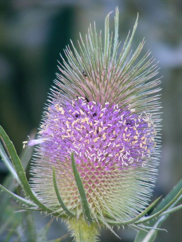 TEASELS WITH INSCECTS