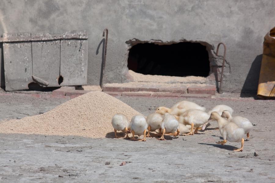20110205_07_Beautiful Duckling_09