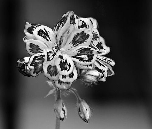 B&W Tiger Flower ?