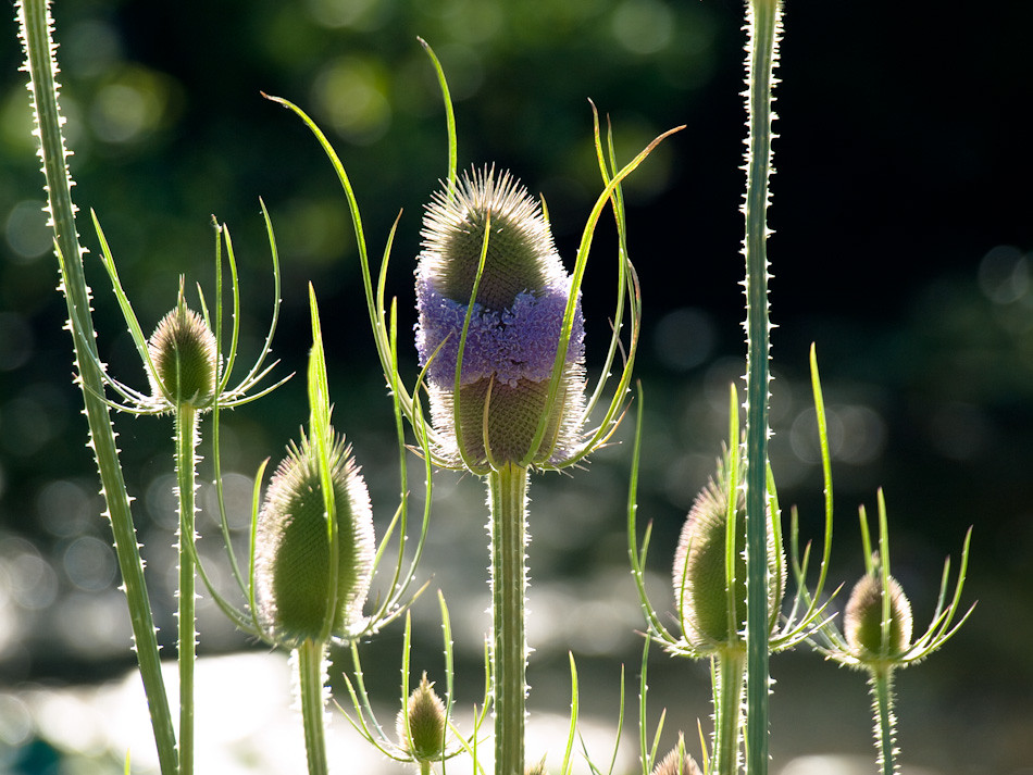 Blooming Teasel