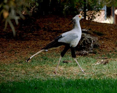 Secratary Bird