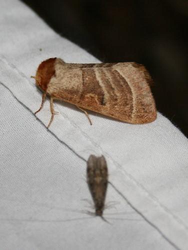 7907 - Datana integerrima - Walnut Caterpillar Moth