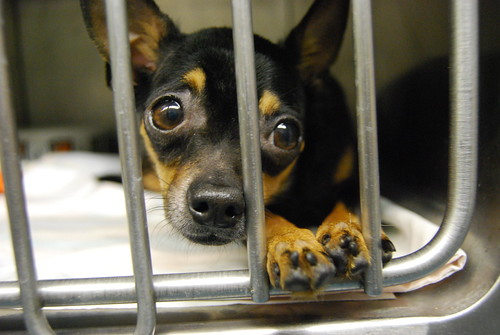 One of 33 chihuahuas rescued from deplorable conditions