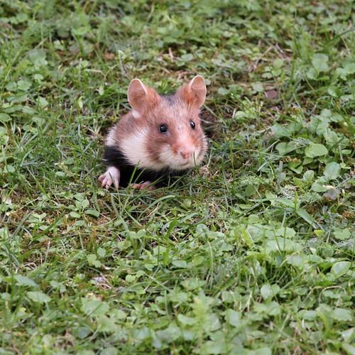 Wild European Field Hamsters AKA Great Hamster Of Alsace