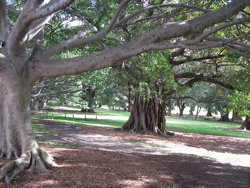 Fig trees in The Domain