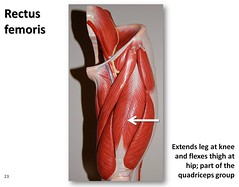 Rectus femoris - Muscles of the Lower Extremit...