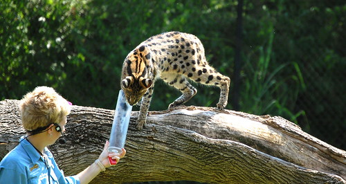 The Long Arm of the Serval