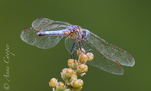 201007_Dragonfly_042.jpg